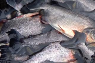 Pemkot Banjarmasin salurkan dana insentif daerah untuk pembudidaya ikan