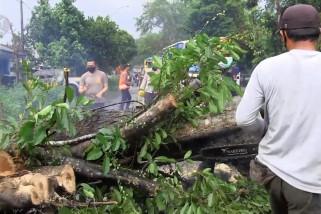 Pohon tumbang, jalur Jember - Surabaya macet