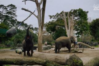 Kebun Binatang Auckland akan pindahkan gajahnya ke luar negeri