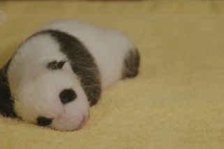 Panda raksasa kelahiran AS akhirnya punya nama