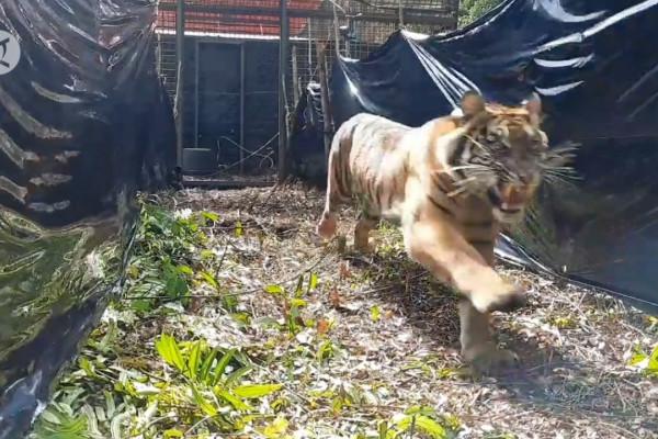 Harimau Sumatra Korban Jerat Akhirnya Mati Antara News