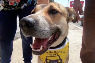 Mengenal si Cano, anjing asisten sopir taksi di Bolivia