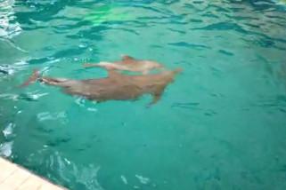 Bayi lumba-lumba Uchuy tambah koleksi satwa Taman Safari Prigen