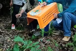 BKSDA lepas enam ekor primata dilindungi