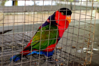 Polda Kalbar sita 15 ekor nuri Papua dari warga Mempawah