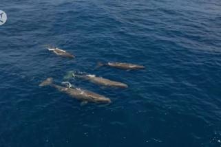 Kecerdasan buatan bantu identifikasi paus sperma dari ekornya
