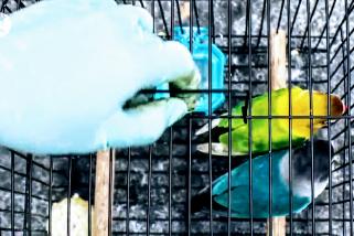 Percobaan penyelundupan 110 burung dari Pontianak ke Semarang