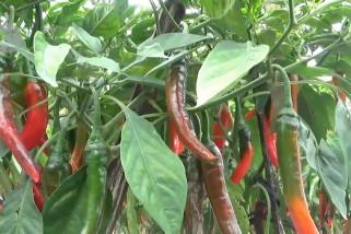 Cuaca ekstrem turunkan 50% produktivitas cabai di Madiun