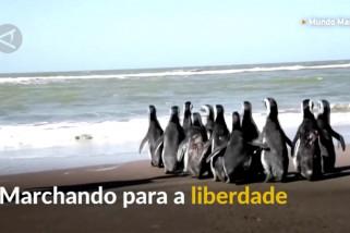 Penguin malnutrisi dikembalikan ke pantai Atlantik setelah rehabilitasi