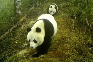 Kamera abadikan panda raksasa liar di Cagar Alam Baishuijiang