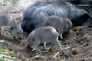 Penampakan bayi peccary yang terancam punah di kebun binatang AS