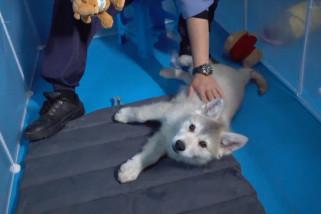 4 anak serigala Arktik rayakan 100 hari kelahiran di Liaoning, China