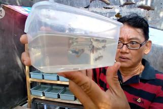 Budi daya ikan hias di lahan kecil dengan untung besar