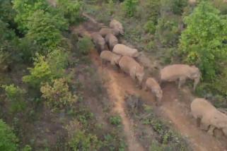 Ketika kawanan gajah Asia bergerak ke arah utara di China