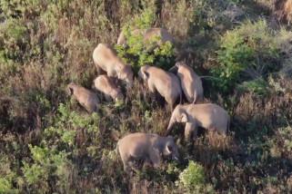 Kawanan gajah di China yang bermigrasi bergerak 9,3 km ke arah utara