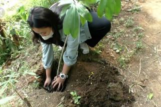 Mencegah bencana alam dengan  pohon pule