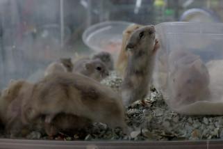 Ternak Hamster beromzet puluhan juta rupiah