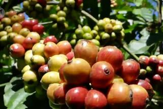 Menparekraf dorong kopi Nusantara naik kelas