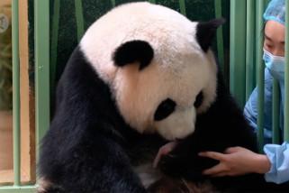 Panda raksasa di kebun binatang Prancis lahirkan bayi kembar