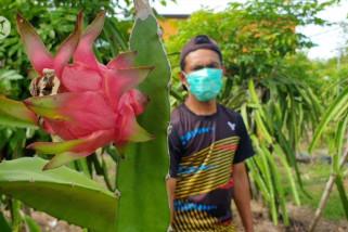 Terima bantuan pemerintah, petani buah naga raup untung saat pandemi
