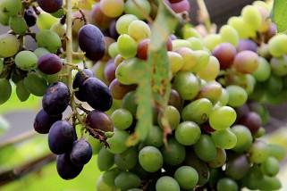 Kalbar kembangkan dua varietas anggur jadi komoditas unggulan