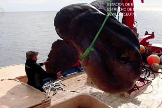 Ikan bulan raksasa ditangkap oleh nelayan di lepas pantai Spanyol